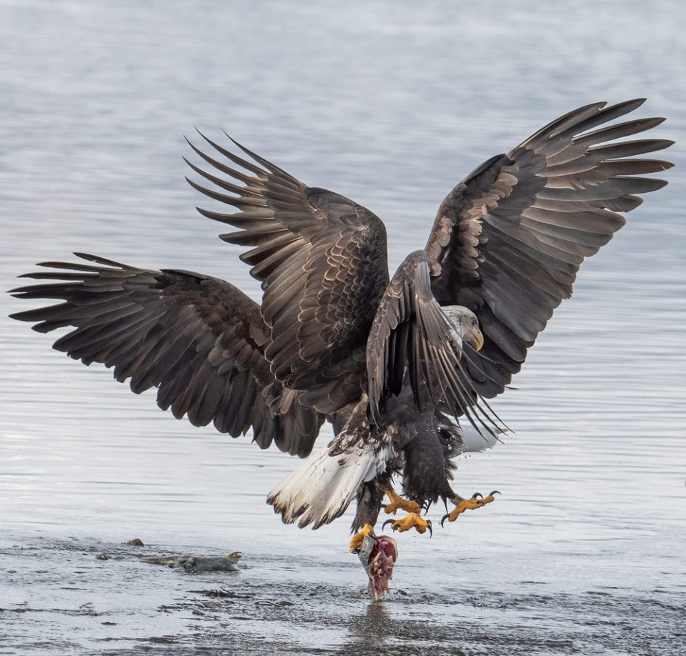 Bald Eagles Fighting over Lunch ©  Debbie McCulliss
