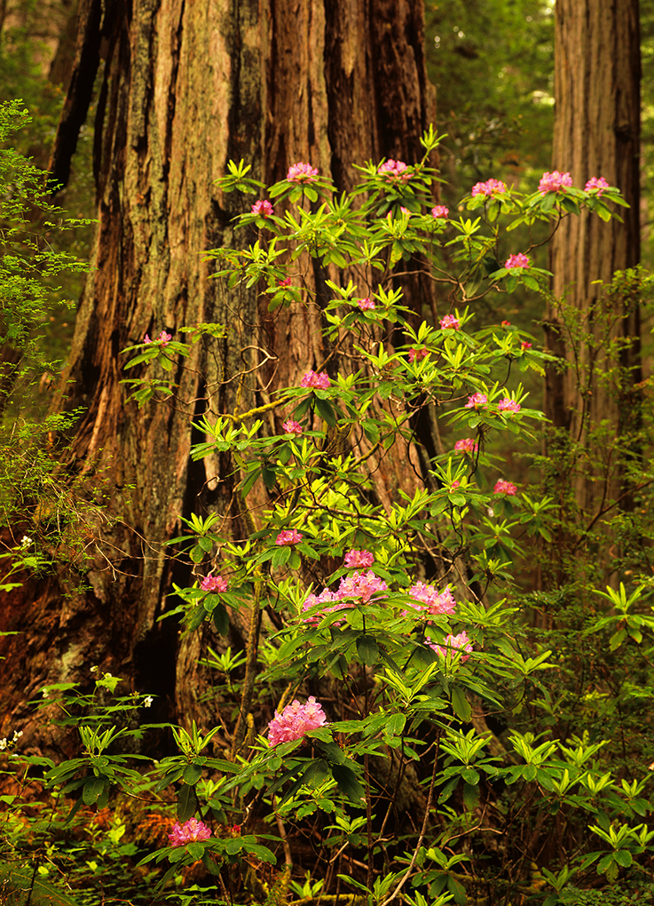 Pink rhododendrons blooming in the spring in Lady Bird Johnson Grove, Redwood National Park, California. © Jerry Ginsberg