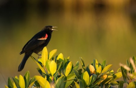 Red-Winged Blackbird Greets the Day © Jonah Parker-Hanson