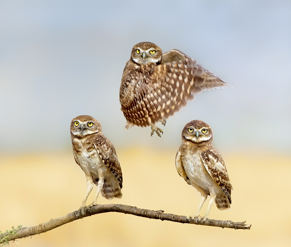 Burrowing Owls, One Levitating, image by Anita Ross