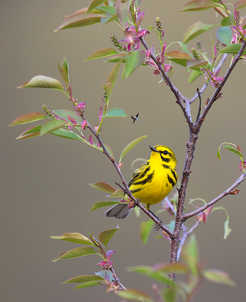 Prairie Warbler On Limb with Insect Flying Nearby, image by Grace Scalzo