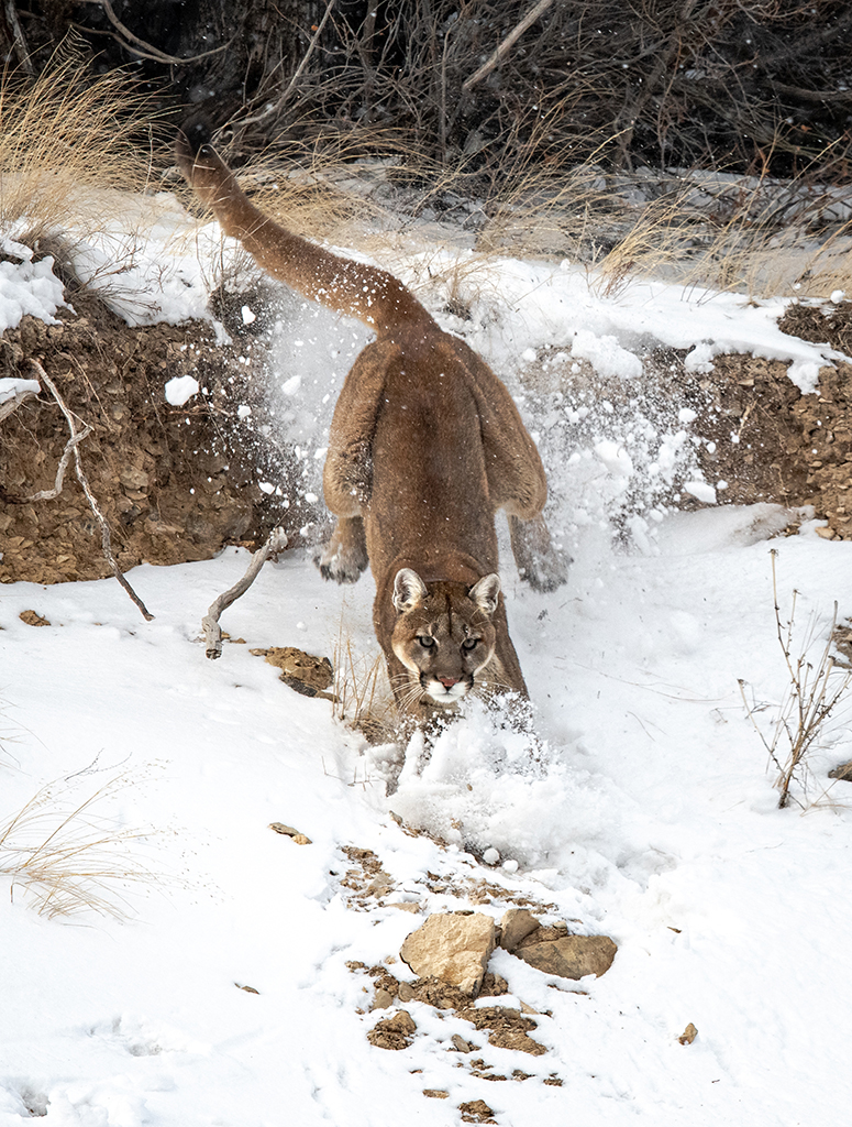 Mountain Lion Leaps down a Cliff Chasing Magpies off Her Kill, image by Savannah Rose Wildlife