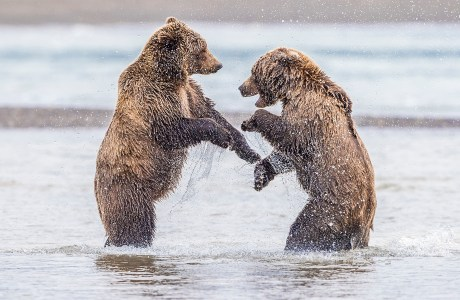 Two brown bears play along the beach of Lake Clark National Park and Preserve, Alaska on my 2019 brown bear photo workshop. My 2020 workshop was canceled and I am hopeful the 2021 workshop will go as planned.