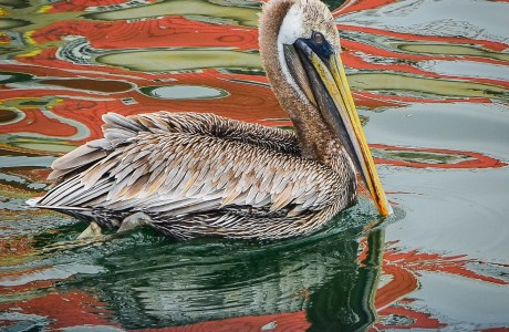 Photo of a pelican floating on water that reflects tjhe colors of nearby boats. © Susan Manley