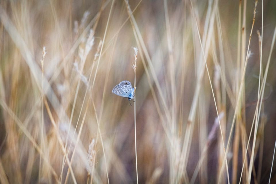 Cyna Blue Butterfly on a Grass Stem © Theresa DiMenno