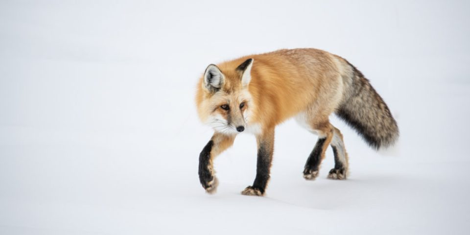 Photo of a Red Fox Hunting for Food in the Snow © Debbie McCulliss