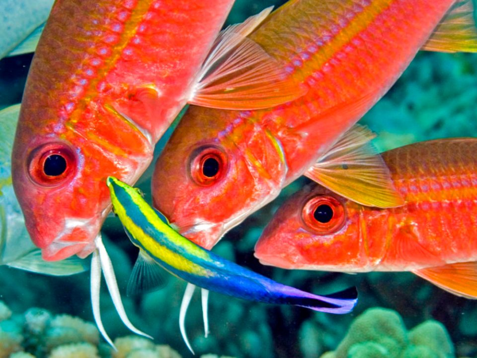 Hawaiian goatfish lining up at a cleaning station. © Jim Squires