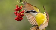 "Showcase 2021: ""Great Kiskadee Eating Wild Pyracantha Berries, Alamo, Texas,"" Best in Category, Birds"