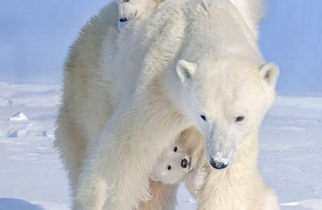 Photo of a polar bear mother and two cubs, with the cubs playing under the mother's legs. © Ken Conger