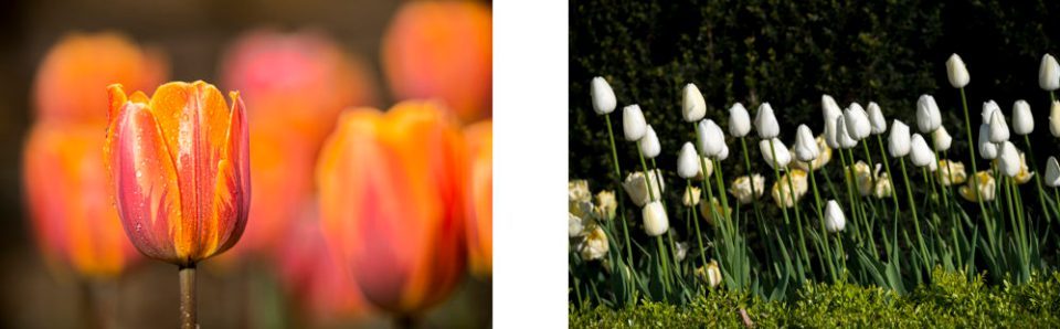 Left: Triumph Tulips (5/6/15) and Right: Single-Late Tulips (5/7/14) © F. M. Kearney