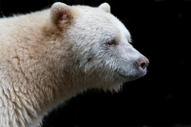 A spirit bear portrait taken in the Great Bear Rainforest, British Columbia. © Tim Irvin