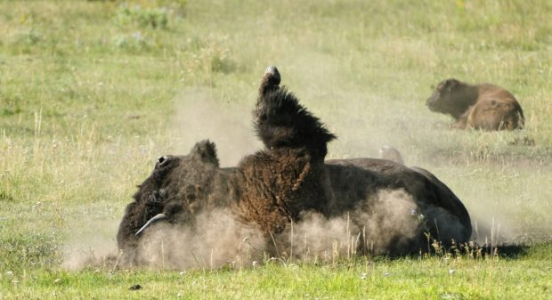 "Bison ""dust"" to alleviate the irritations from biting insects. This bull was in the Lamar Valley, Yellowstone National Park, Wyoming. © Jim Clark"