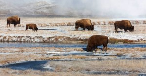 Bison search for grass in a winter landscape. © Kevin Horsefield
