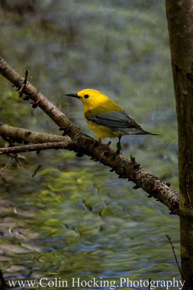 Meet-up Group: Prothonotary Warbler at the Beidler Forest Audubon Sanctuary in South Carolina. © Colin Hocking