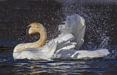A trumpeter swan makes a splash.