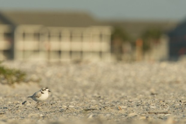 A Snowy Plover sits among the dunes on a Florida beach in front of one of many condominiums.