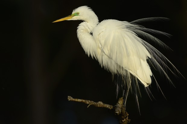 Great egret, Chincoteague National Wildlife Refuge, Virginia. © Jim Clark