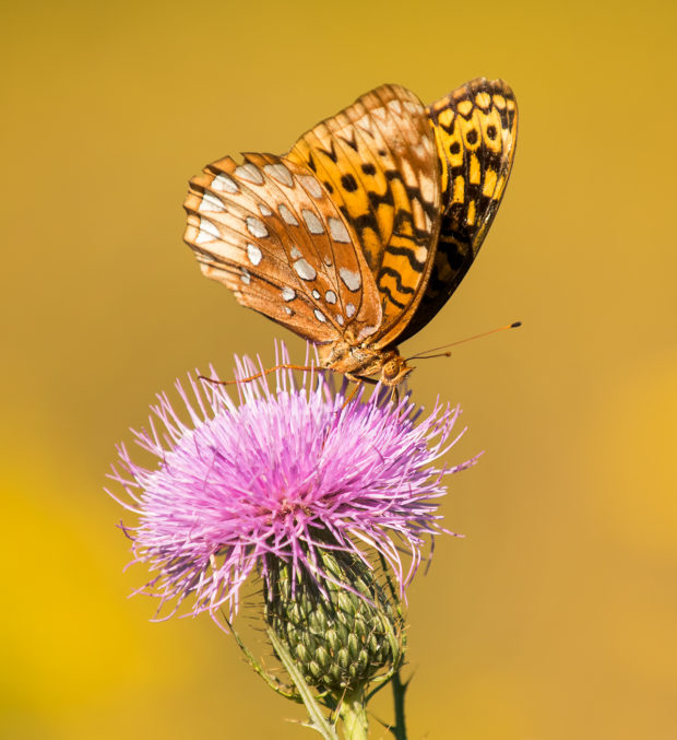 Great Spangled Fritillary butterfly in the Grreat Smoky Mountains National Park. © Tom Haxby