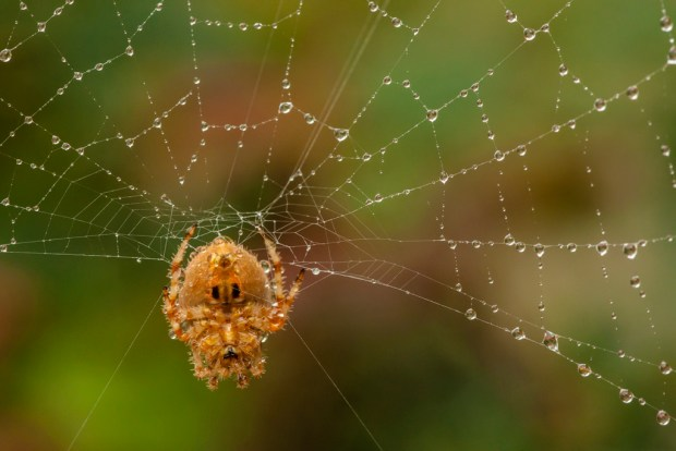 Orb weaver spider in dew-covered web, Jefferson County, CO. Image © Gordon and Cathy Illg