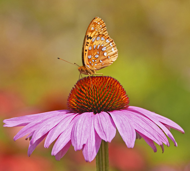 Great spangled Fritillary, © Jorja Feldman