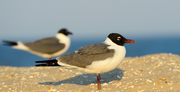 Sea gulls? No these are adult laughing gulls in breeding plumage, photographed at Assateague Island National Seashore, Virginia.        © Jim Clark