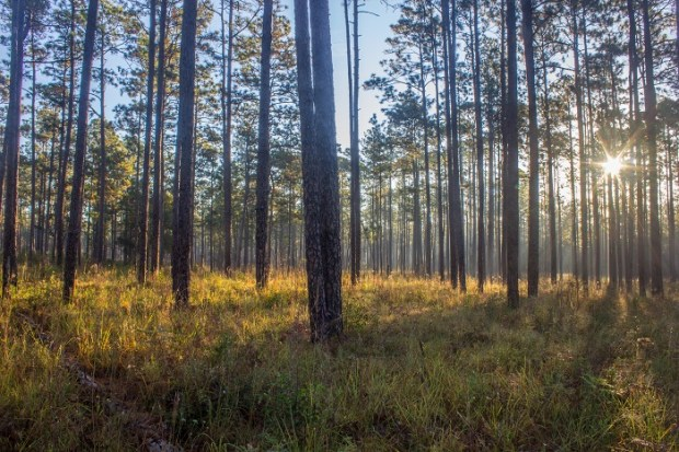 Longleaf pine forest in Blackwater River State Forest, Florida by Todd Amacker