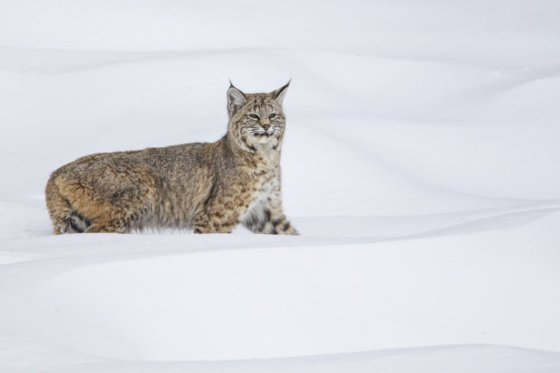 Bobcat during winter hunting waterfowl in Yellowstone National Park © D. Robert Franz