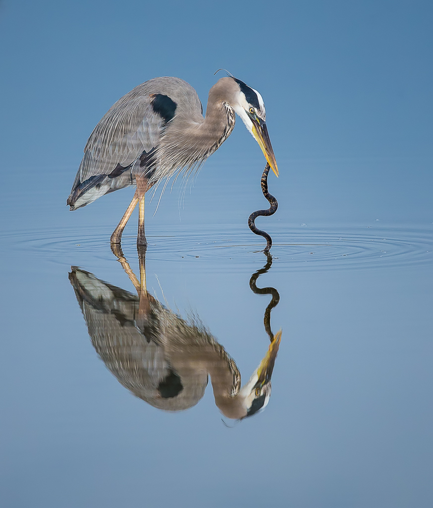 Great Blue with Snake, Green Cay, Palm Beach County, FL © Michael Cohen