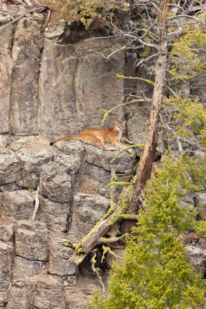 Mountain Lion in Yellowstone National Park © D. Robert Franz