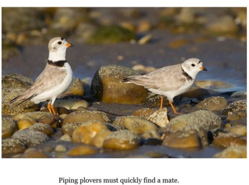 Nanpa plovers with pics.pages