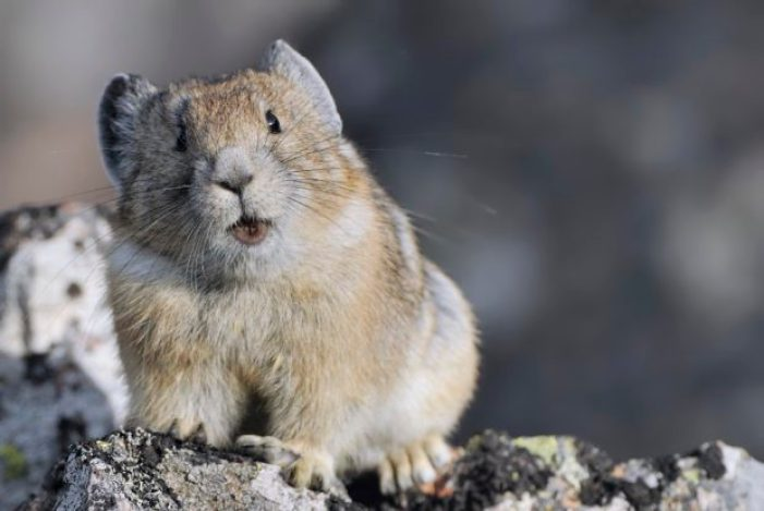 Pika Calling 2 - Yellowstone National Park WY (c) Jim Clark