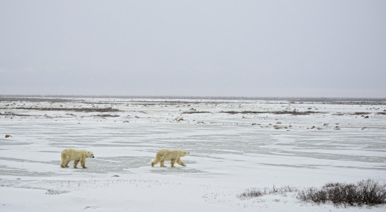Polar bears along the Hudson Bay, Churchill Wildlife Management Area, Manitoba. © Jim Clark