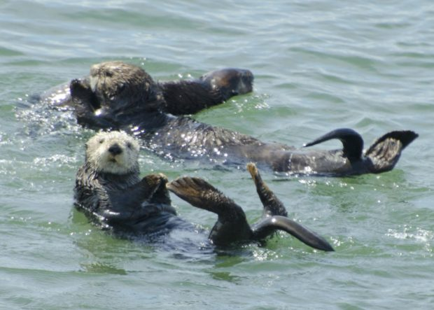 Sea otters often use a rock to scrape their prey or open shells. © Frank Toller