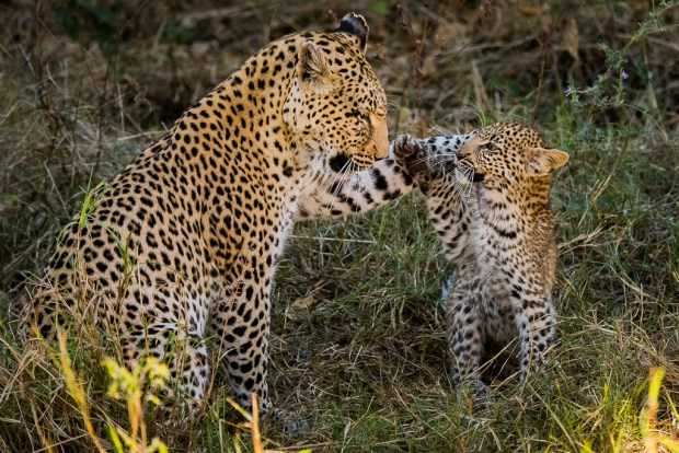Showcase 2018 Top 100 winner. Mother leopard and cub tender moment , Botswana