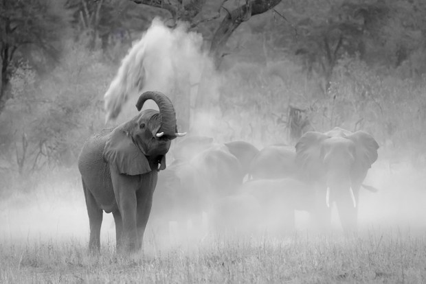 Mammals Judges' Choice: Dustbathing Elephant