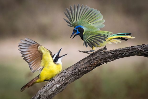 Great Kiskadee and Green Jay, Laguna Seca Ranch, South Texas. © Melody Lytle