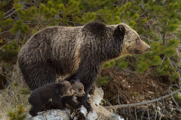 Grizzly Bear with Cubs © Trent Sizemore