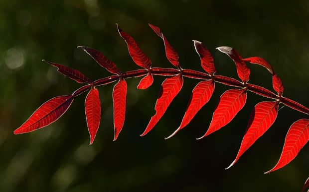 Winged Sumac Leaves Backlit 11162016 Chincoteague NWR VA (c) Jim Clark_6