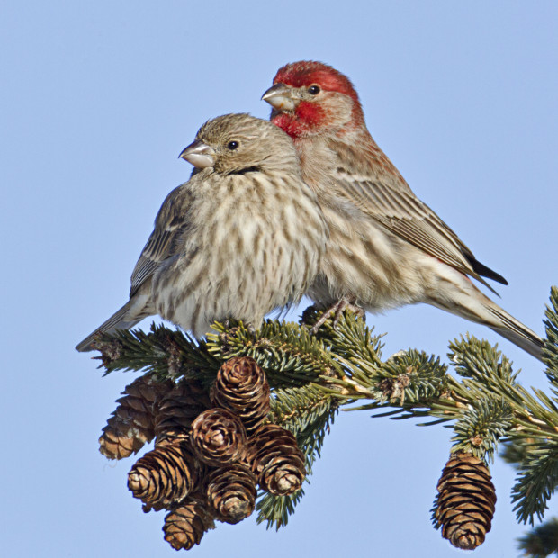 House Finches © Bob Feldman