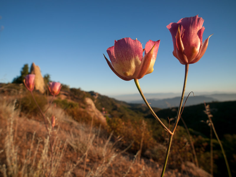 Mariposa lily (Calochortus), Santa Monica Mountains National Recreation Area, California. Image © Rob Sheppard.