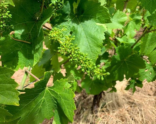 rencontre avec Romain Moreau, jeune viticulteur passionné