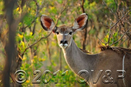 Female Kudu in bushes at Mabula Private Game Reserve