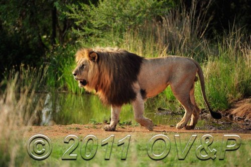 Male lion at a waterhole