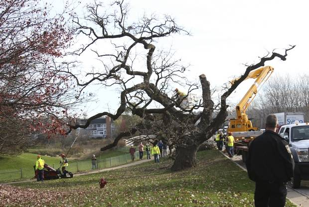 First auction set to sell artworks, saplings from historic Hobson Oak