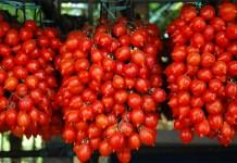 Arrestato ladro di pomodori del piennolo del Vesuvio