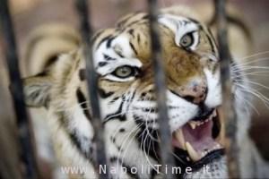 tigre-zoo-napoli