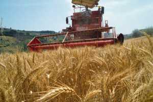 Farmer Harvesting Wheat Near Fiano
