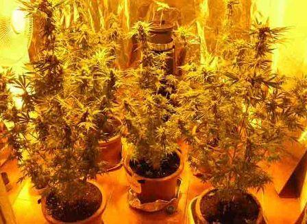 marijuana-in-casa