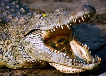 coccodrillo-del-nilo