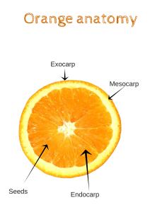 Orange anatomy